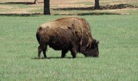 在领域的一水牛grazino 免版税库存照片