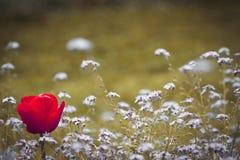 在领域的一红色郁金香忘记我不是花 库存图片