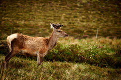 在领域的一头幼小鹿 库存图片