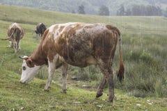 在领域的一头母牛 免版税库存图片