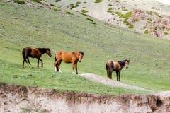 在领域的三匹马 图库摄影