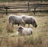 在领域的三只绵羊在富兰德 免版税库存图片