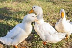 在领域的三只鸭子 免版税库存照片