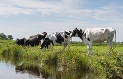 在领域的三头母牛 免版税库存图片