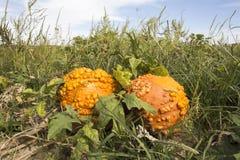 在领域的两个七高八低的橙色南瓜 库存照片