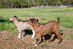 在领域的两个年轻山羊孩子 库存照片