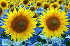 在领域的两个美丽的开花的黄色向日葵 库存照片