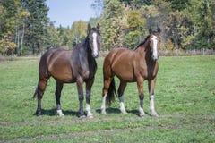 在领域的两匹美丽的马 免版税库存照片