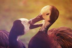 在领域的两只美丽的使有大理石花纹的鸭子 图库摄影