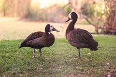 在领域的两只美丽的使有大理石花纹的鸭子 库存图片