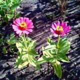 在领域的两朵美丽的桃红色花 图库摄影