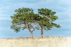 在领域的两棵杉木树 免版税库存图片
