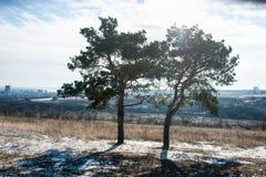 在领域的两棵杉木树 图库摄影
