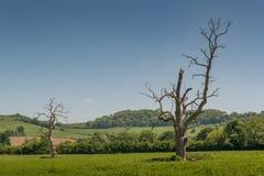 在领域的两棵死的树 免版税库存图片