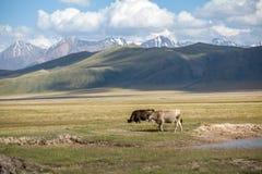 在领域的两头母牛 免版税图库摄影