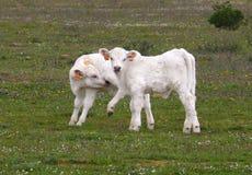 二头夏洛来牛小牛 库存照片