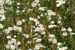 在领域的令人惊讶的白花与在雌蕊的臭虫 发光 免版税库存图片