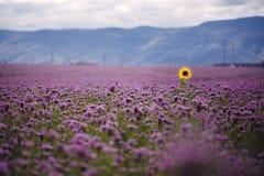 在领域的偏僻的向日葵 库存图片