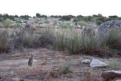 在领域的兔子 免版税库存照片