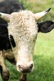 在领域的公牛 库存图片