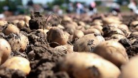 在领域的农厂工作用土豆 影视素材