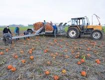 在领域的农夫家庭收获橙色南瓜在格罗宁根省在荷兰 免版税库存照片