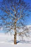 在领域的冬天树 免版税库存图片