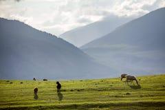 在领域的几只绵羊 库存图片
