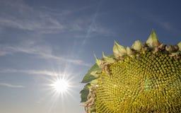 在领域的前个向日葵在秋天 图库摄影