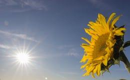在领域的前个向日葵在秋天 库存图片
