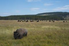 在领域的北美野牛在黄石国家公园 免版税库存照片