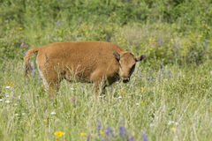 在领域的北美野牛小牛 免版税库存图片