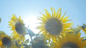 在领域的向日葵与浅兰的天空 股票视频