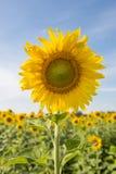 在领域的向日葵与蓝天 图库摄影