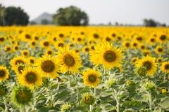 在领域的向日葵与蓝天 免版税库存图片