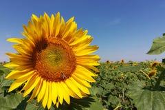 在领域的向日葵在一个晴天 免版税库存图片