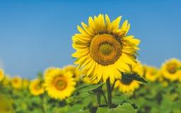 在领域的向日葵在夏时 库存照片
