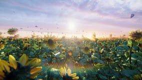 在领域的向日葵在日出 美好的领域用向日葵、蝴蝶和昆虫在夏天 股票录像