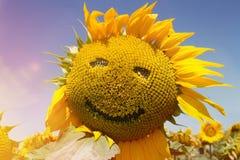 在领域的向日葵 库存照片