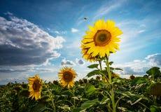 在领域的向日葵 免版税库存图片
