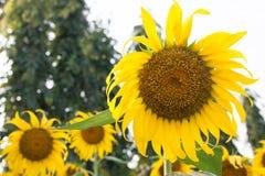 在领域的向日葵 库存图片