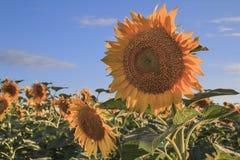 在领域的向日葵 免版税图库摄影