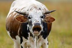 在领域的呼喊的母牛 库存图片