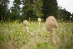 在领域的大伞菌 免版税库存图片
