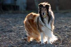 在领域的大牧羊犬狗 免版税图库摄影