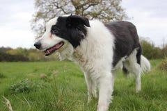 在领域的大牧羊犬狗 免版税库存照片