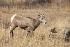 在领域的大角野绵羊 免版税库存照片