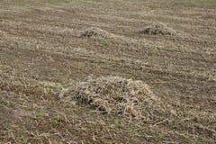 在领域的大豆秸杆 库存图片