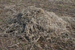 在领域的大豆秸杆 免版税库存图片