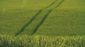在领域的大雨阵雨 年轻绿色麦芽,美好的自然 美好的横向 乡下 股票录像